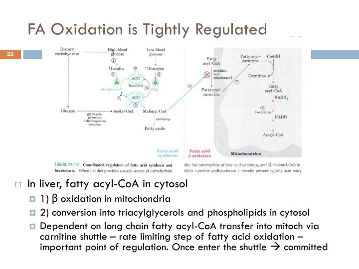 FA Oxidation is Tightly Regulated