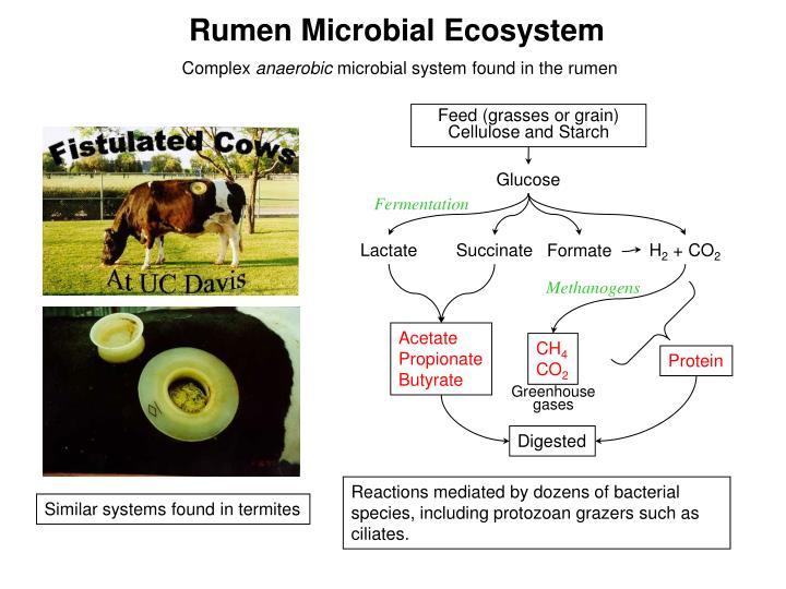 Rumen Microbial Ecosystem