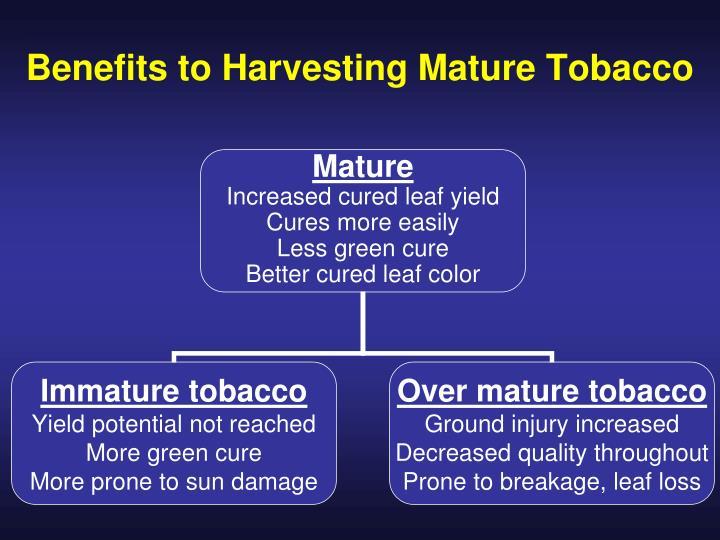 Benefits to Harvesting Mature Tobacco
