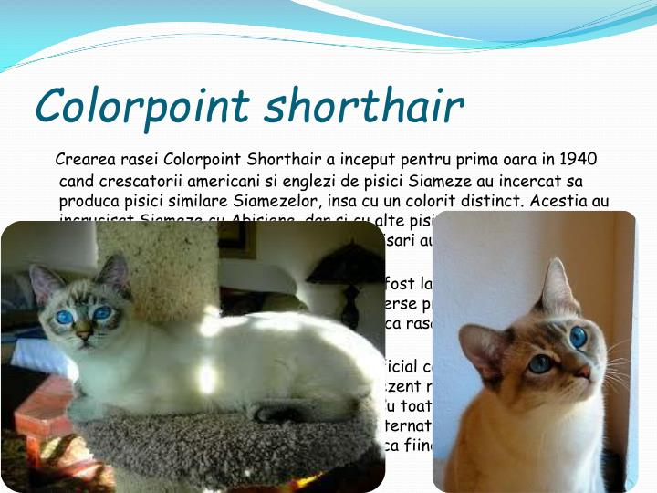 Colorpoint shorthair