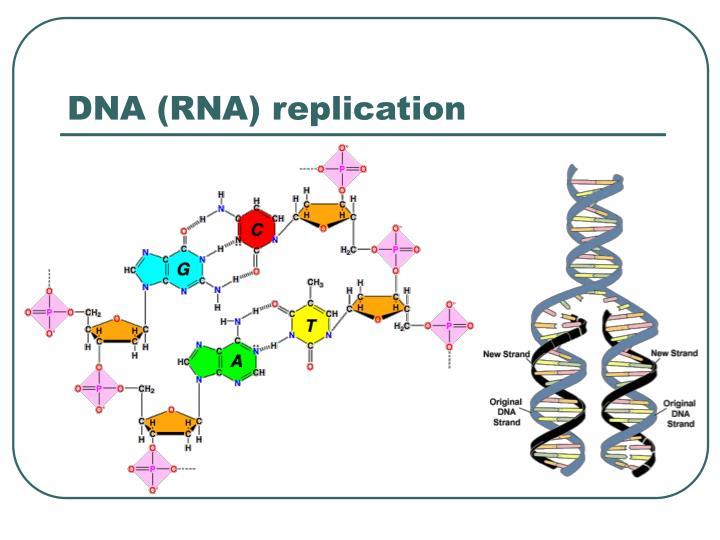 DNA (RNA) replication