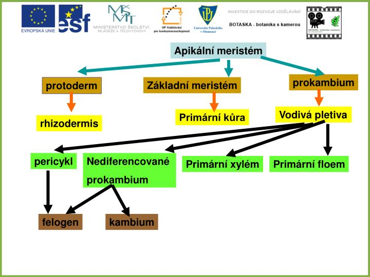 PPT - Kořen (Radix) PowerPoint Presentation - ID 4726729 63de97fcc3