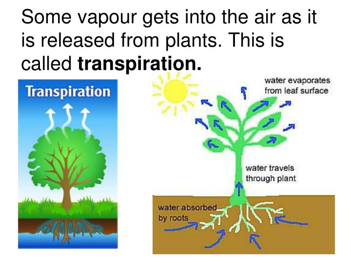 Some vapour gets into the air as it is released from plants. This is called