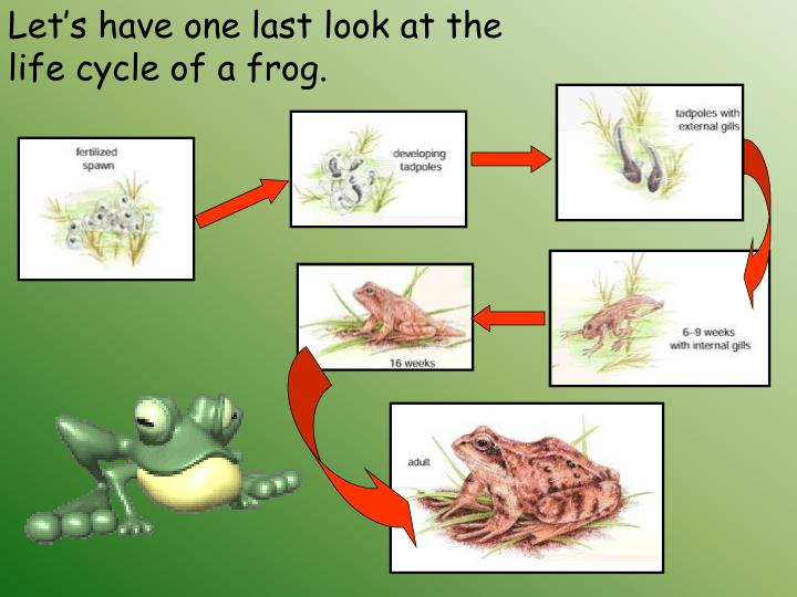 a look at the habitat adaptability and life cycle of the ancient frogs Basic facts about frogs frogs are amphibians, which comes from the greek language and means both lives most frogs are born in water as tadpoles and gradually change into frogs although some frogs, known as direct developers, are born as full frogs.