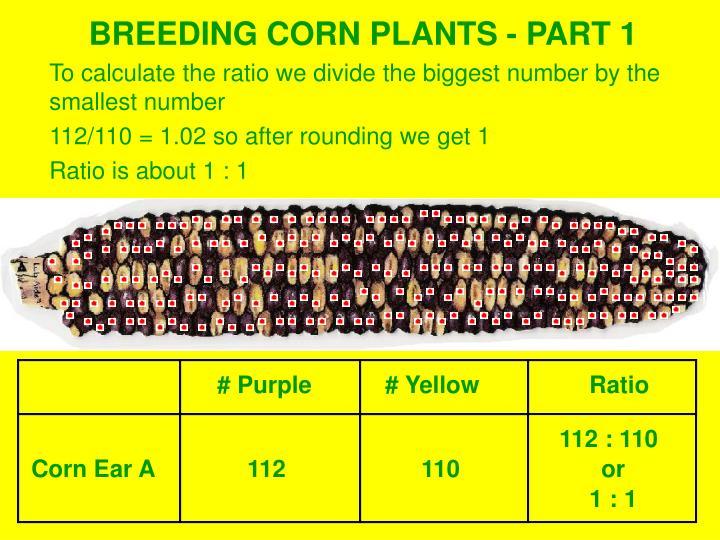 BREEDING CORN PLANTS - PART 1