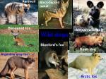wild dogs 1