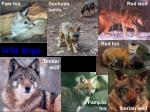 wild dogs 5