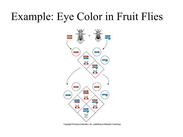 Example: Eye Color in Fruit Flies