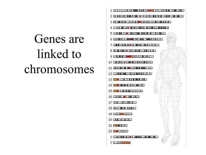 Genes are linked to chromosomes