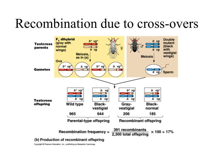 Recombination due to cross-overs