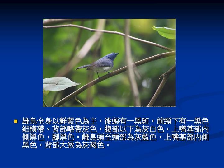 雄鳥全身以鮮藍色為主,後頭有一黑斑,前頸下有一黑色細橫帶。背部略帶灰色,腹部以下為灰白色,上嘴基部內側黑色,腳黑色。雌鳥頭至頸部為灰藍色,上嘴基部內側黑色,背部大致為灰褐色。