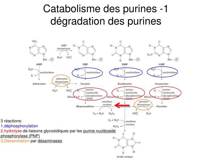 Catabolisme des purines -1
