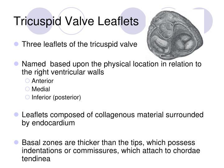Tricuspid Valve Leaflets