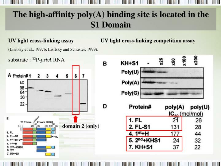 The high-affinity poly(A) binding site is located in the S1 Domain