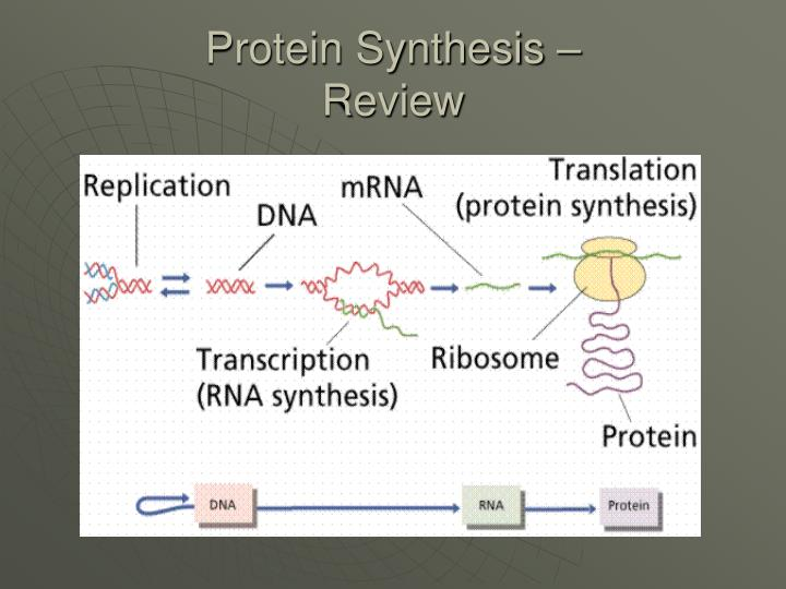 protein synthesis review n.