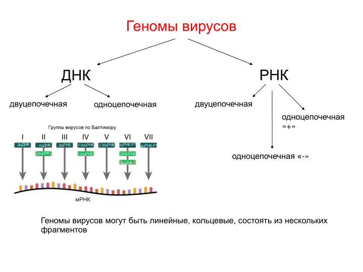 Геномы вирусов
