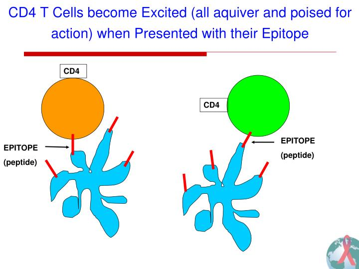 CD4 T Cells become Excited (all aquiver and poised for action) when Presented with their Epitope