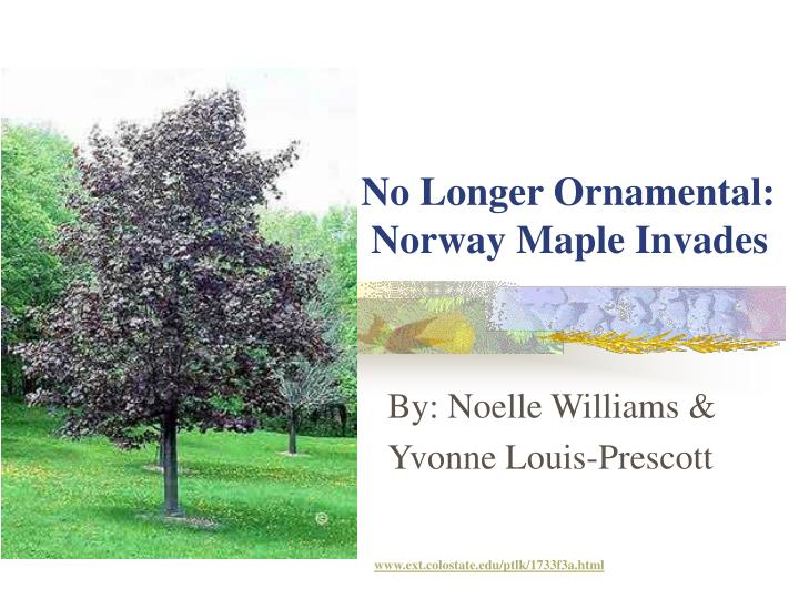 no longer ornamental norway maple invades n.