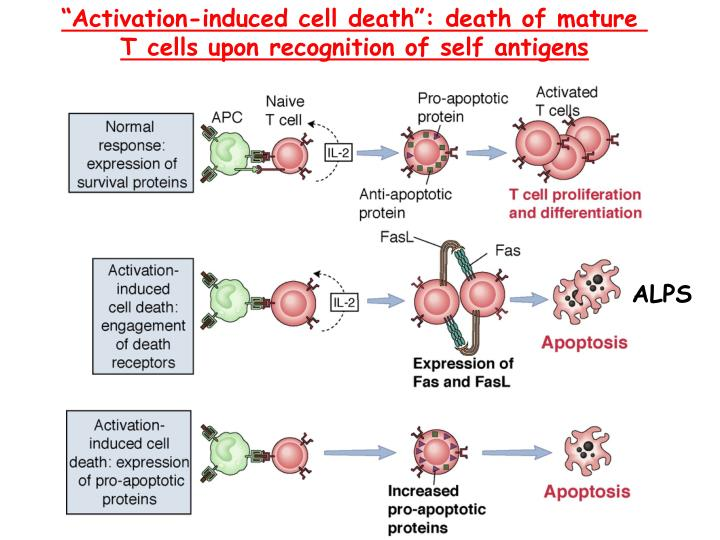"""Activation-induced cell death"": death of mature"