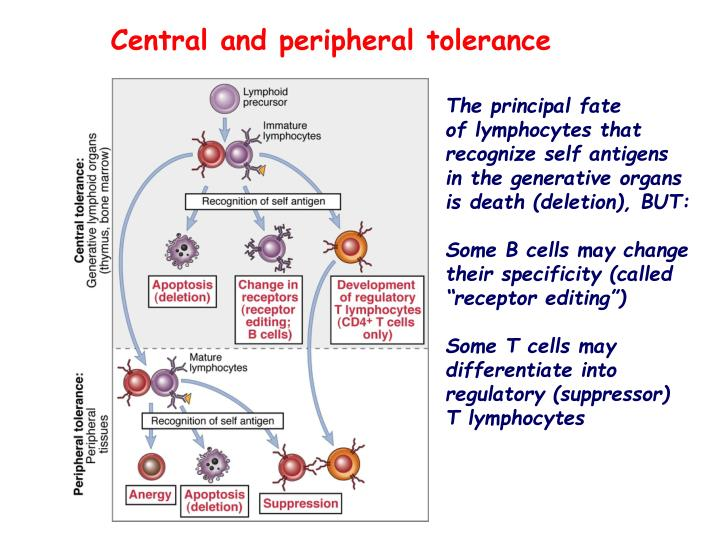 Central and peripheral tolerance