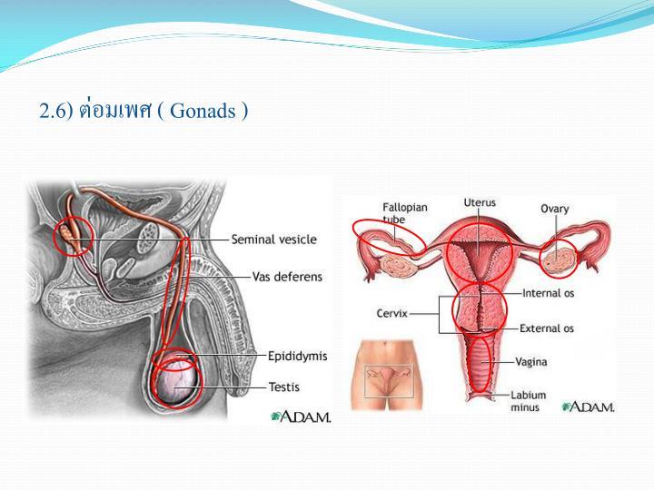 2.6) ต่อมเพศ (