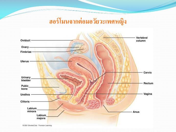 ฮอร์โมนจากต่อมอวัยวะเพศหญิง