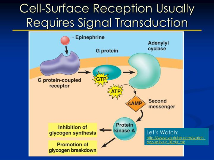 Cell-Surface Reception Usually Requires Signal Transduction