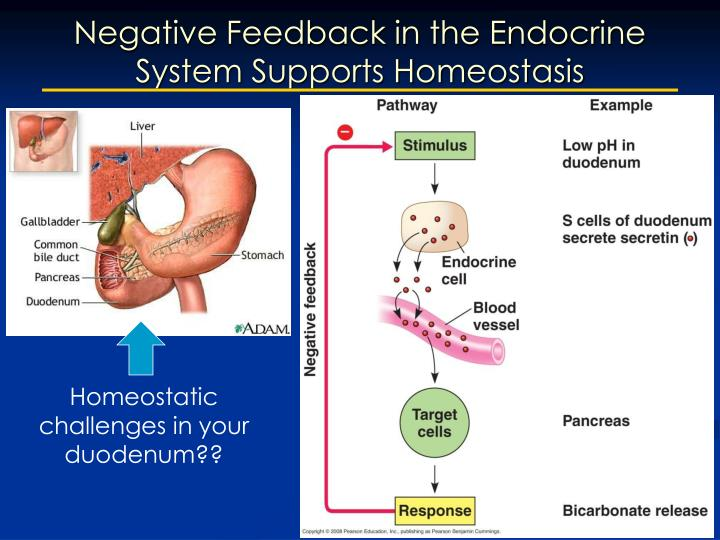 Negative Feedback in the Endocrine System Supports Homeostasis