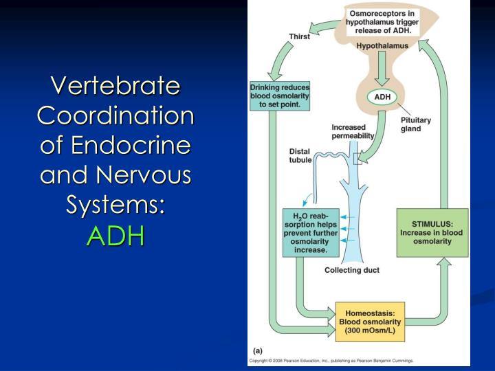 Vertebrate Coordination of Endocrine and Nervous Systems:
