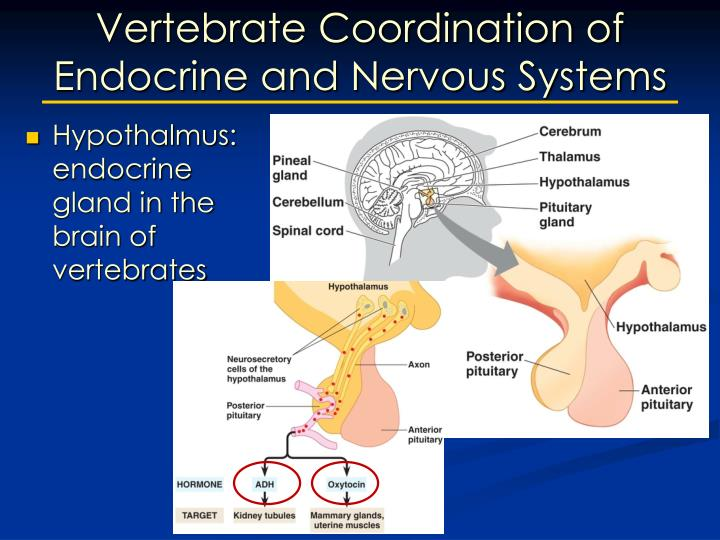 Vertebrate Coordination of Endocrine and Nervous Systems