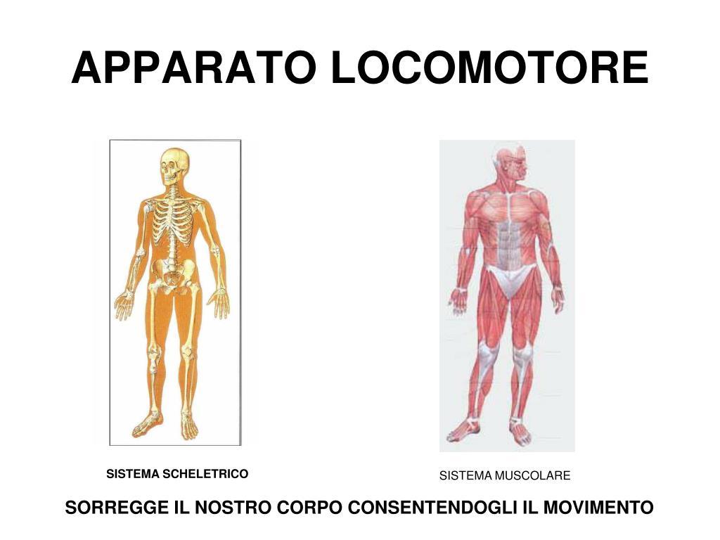 Ppt il sistema circolatorio umano powerpoint presentation id.