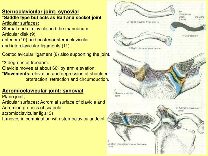 Saddle Joint Sternoclavicular
