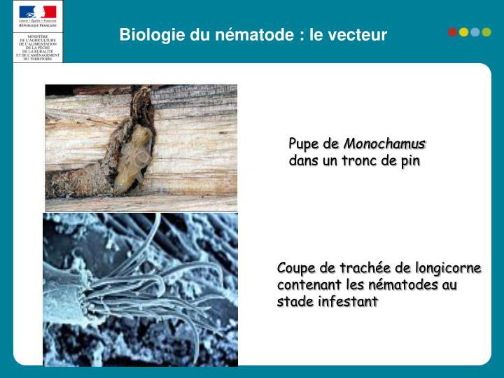 Biologie du nématode : le vecteur