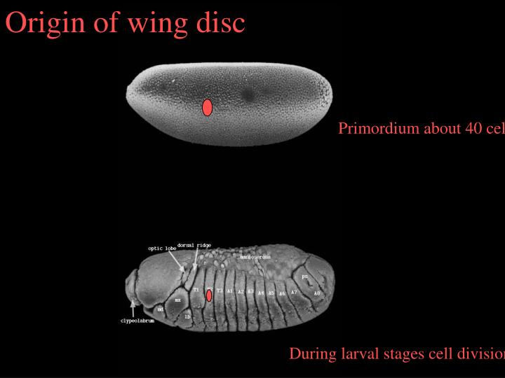 Origin of wing disc