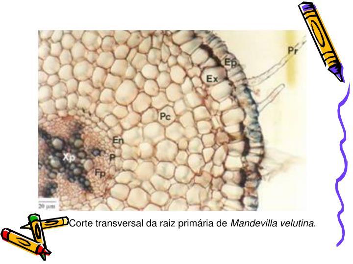Corte transversal da raiz primária de