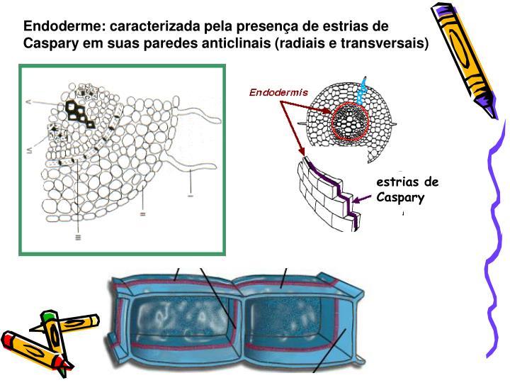 Endoderme: caracterizada pela presença de estrias de Caspary em suas paredes anticlinais (radiais e transversais)