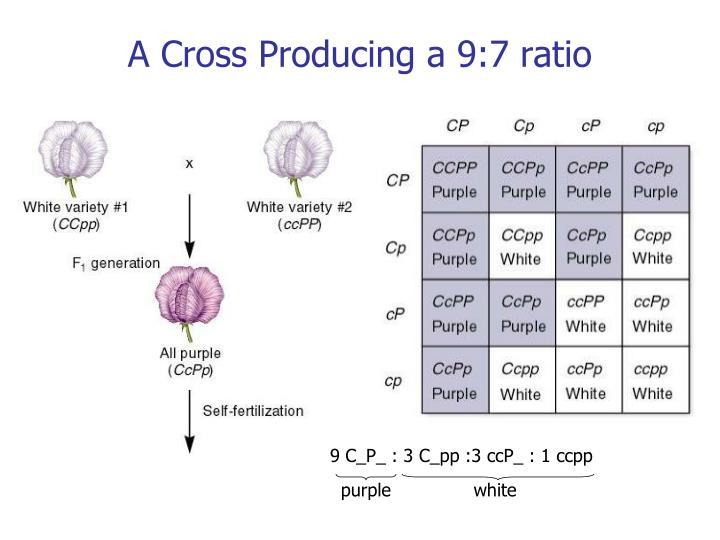 A Cross Producing a 9:7 ratio