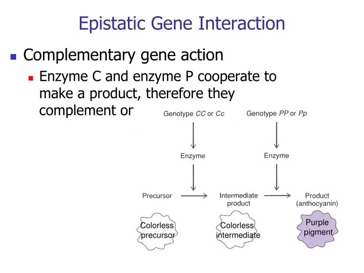 Epistatic Gene Interaction
