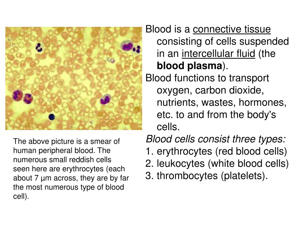 What does the blood consist of