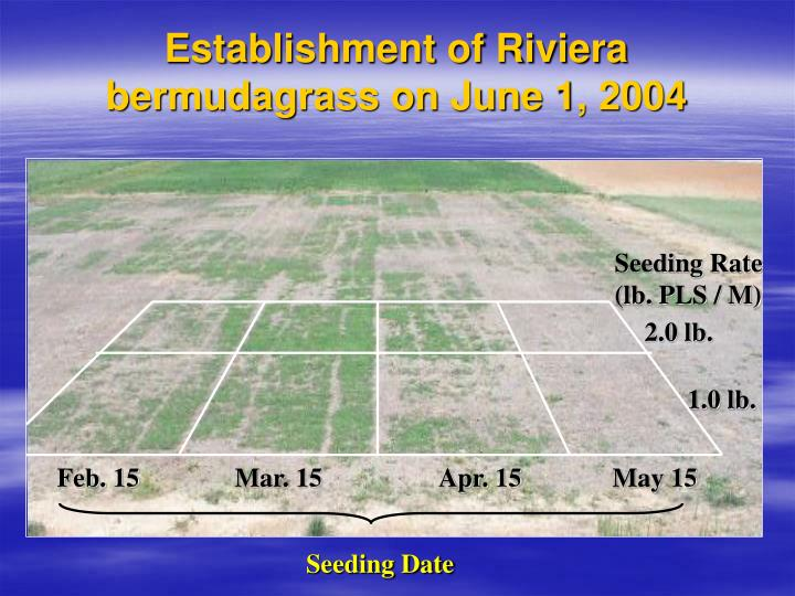 Establishment of Riviera bermudagrass on June 1, 2004