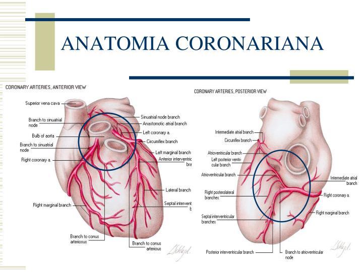 ANATOMIA CORONARIANA