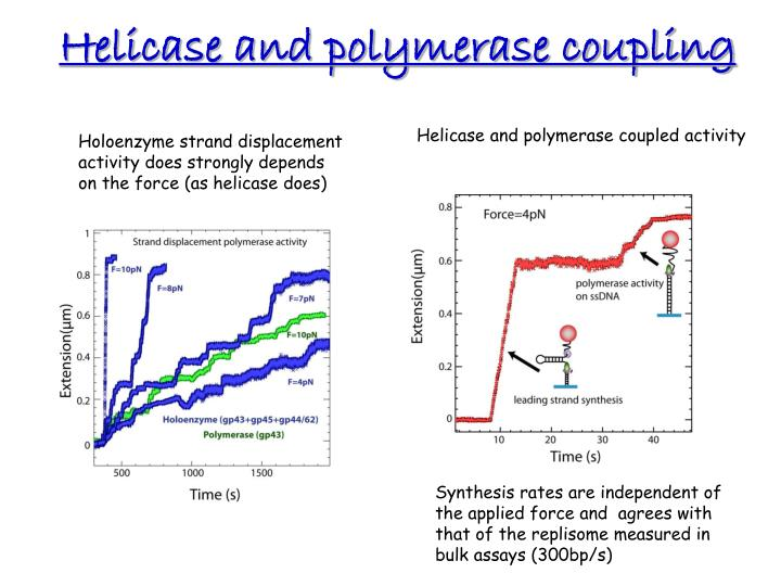 Helicase and polymerase coupling