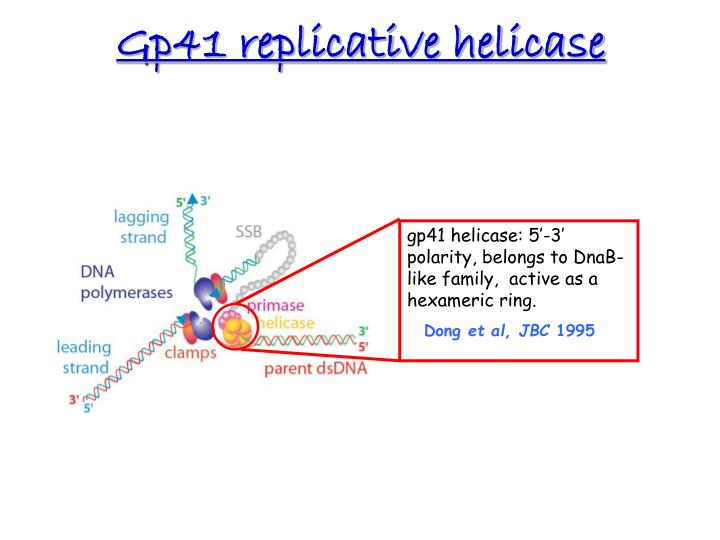 Gp41 replicative helicase