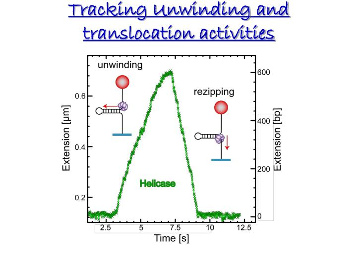 Tracking Unwinding and translocation activities