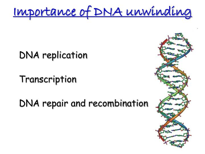 Importance of DNA unwinding