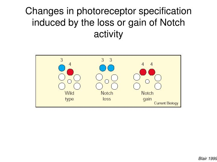 Changes in photoreceptor specification induced by the loss or gain of Notch activity