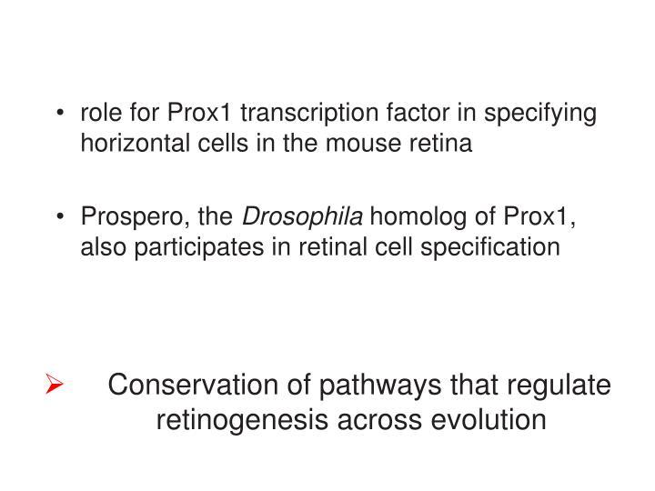 Conservation of pathways that regulate retinogenesis across evolution