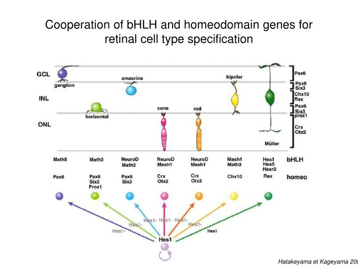 Cooperation of bHLH and homeodomain genes for retinal cell type specification