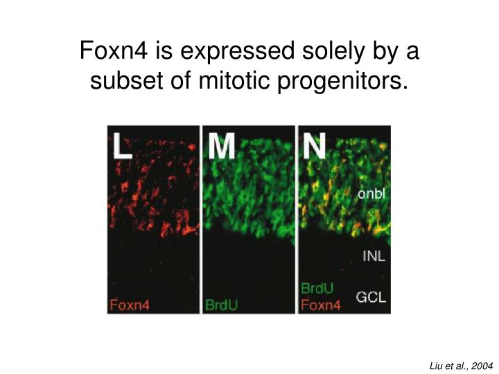 Foxn4 is expressed solely by a subset of mitotic progenitors.