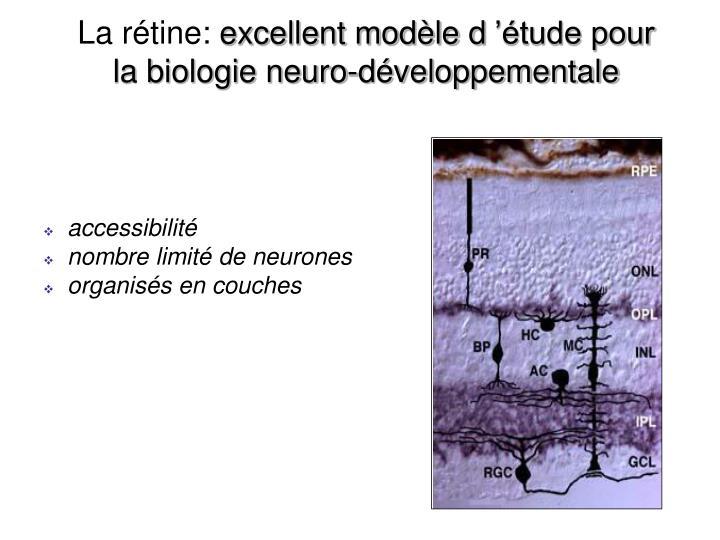La r tine excellent mod le d tude pour la biologie neuro d veloppementale